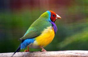 Pet bird Finches