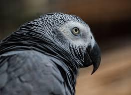 African Grey Parrots is one of the best pet birds