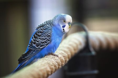 how to take care a parakeet