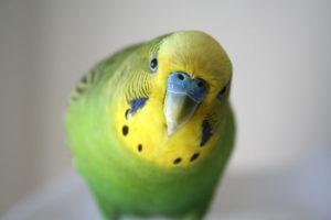 Budgies ( best pet birds)