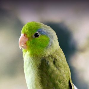 care for parrotlets