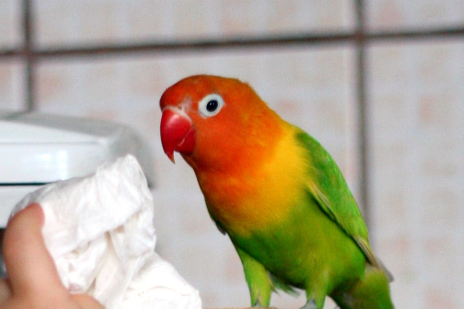 Parrotlet Care And Training