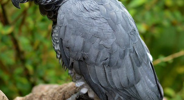 Grey parrot lifespan