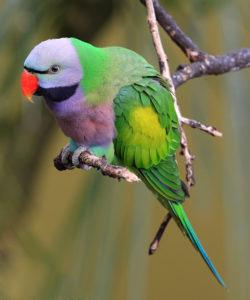 Parakeet information
