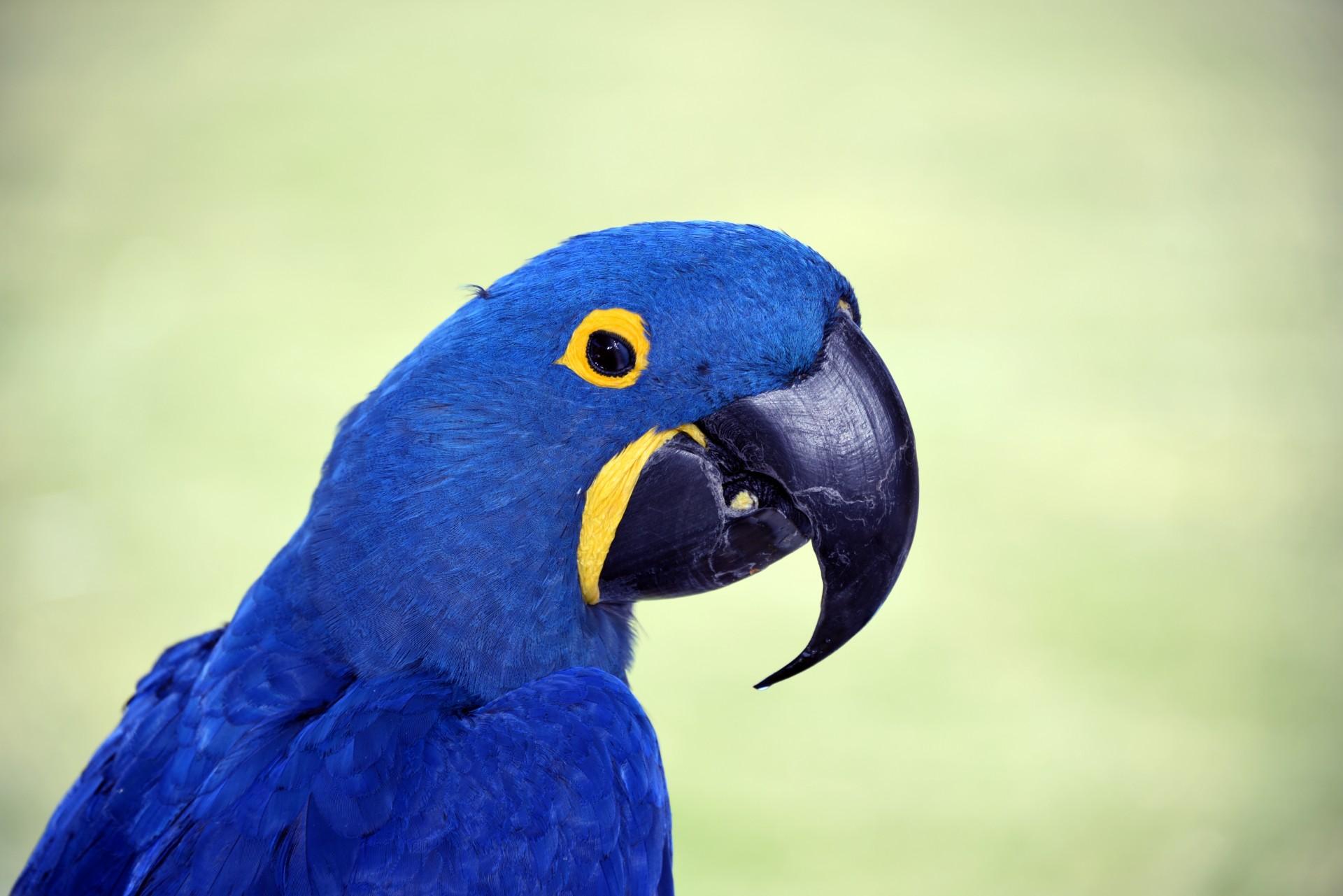blue mascaw