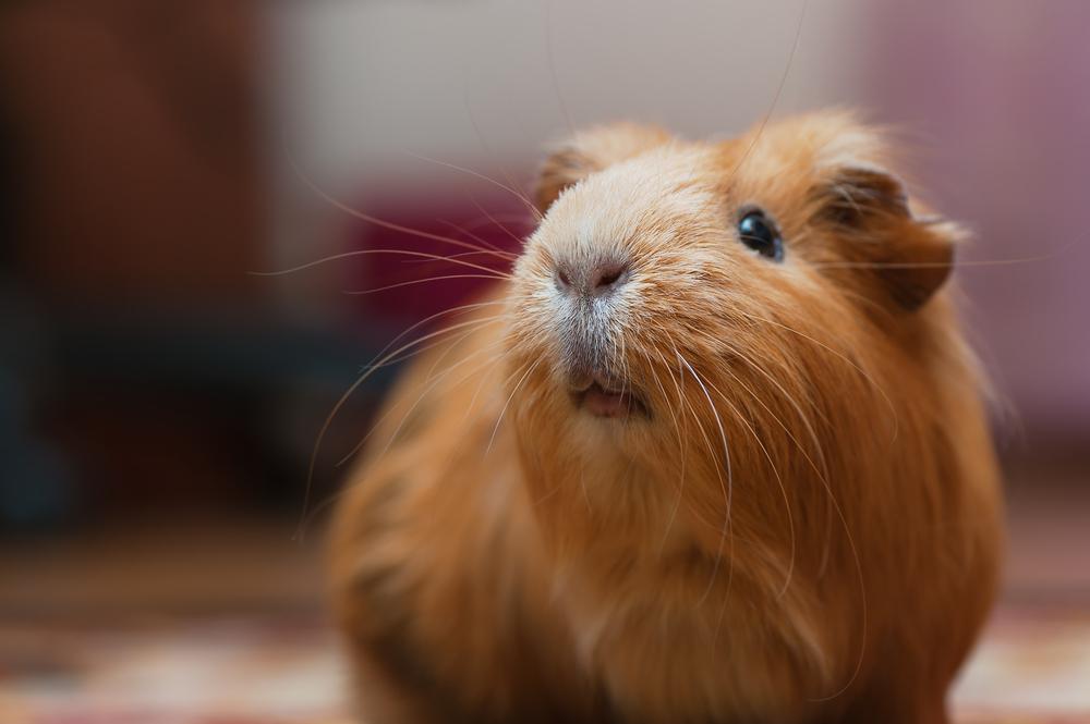 guinea pig (living world cage)