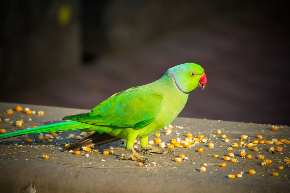 Food Of Parrot